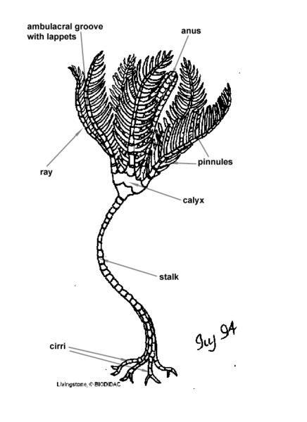 Sea Lily Diagram House Wiring Diagram Symbols