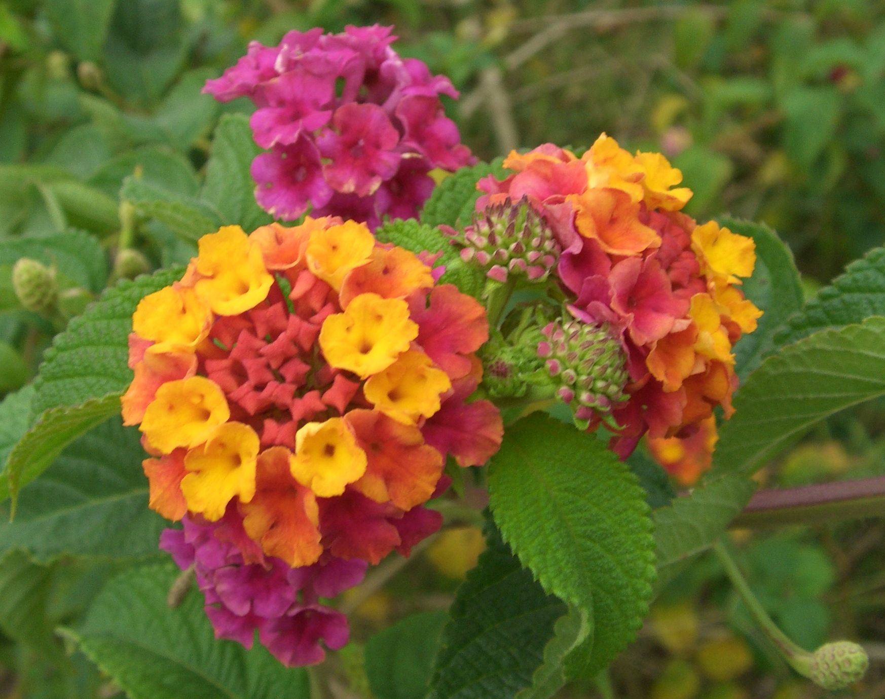 Lantana Is One Of My Favorites An Annual Shrub Type Plant That Grows Fast And Can Fill A 3 X 3 Area In No Time If Planted In Lantana Flower Lantana