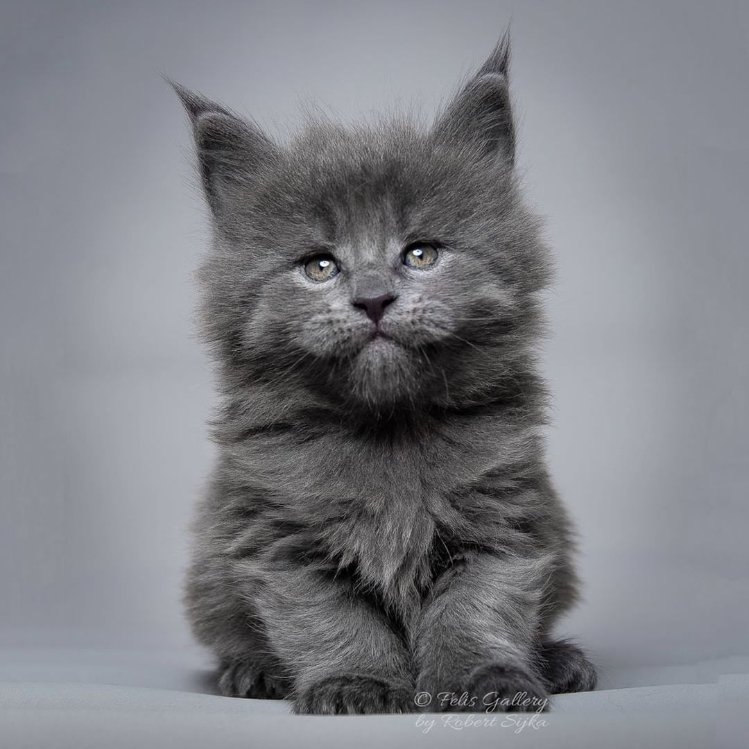 russian maine coon kittens for sale craigslist