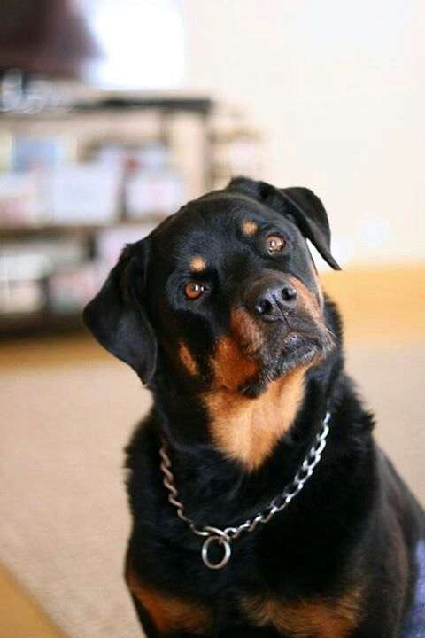 Did You Say Treats Rottweiler Puppies Rottweiler