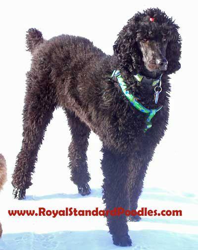 Royal Standard Poodles Black Zeddy Poodle Puppy Standard Poodle
