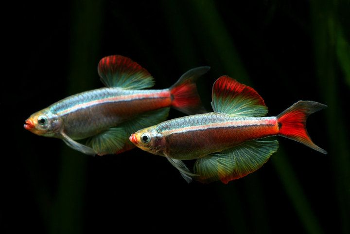 Tanichthys Albonubes White Cloud Mountain Minnow Aphyocypris Pooni Cool Fish Aquarium Fish White Cloud Minnow