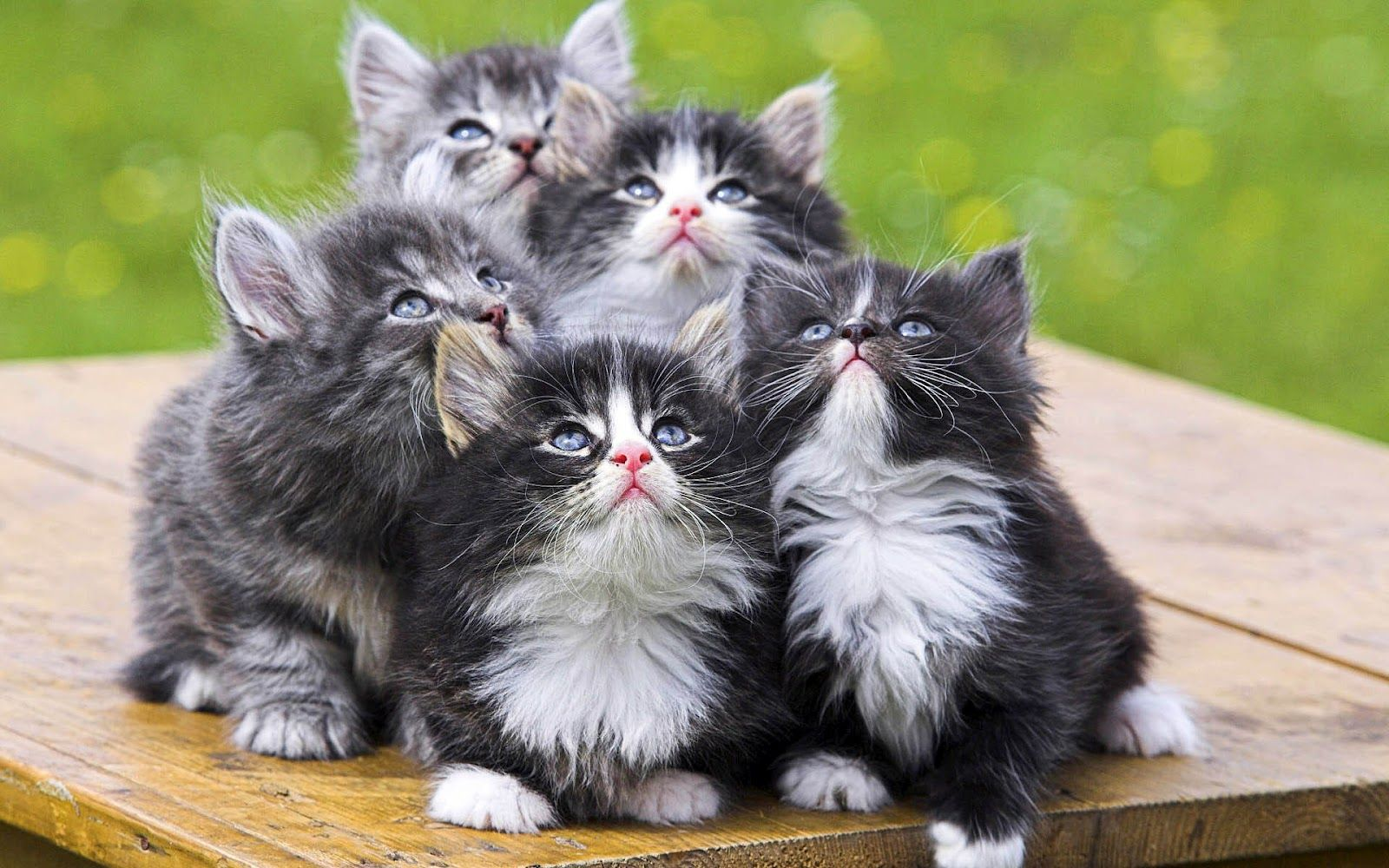 Cute Little Cats Cute Little Cats Kittens Cutest Norwegian Forest Cat