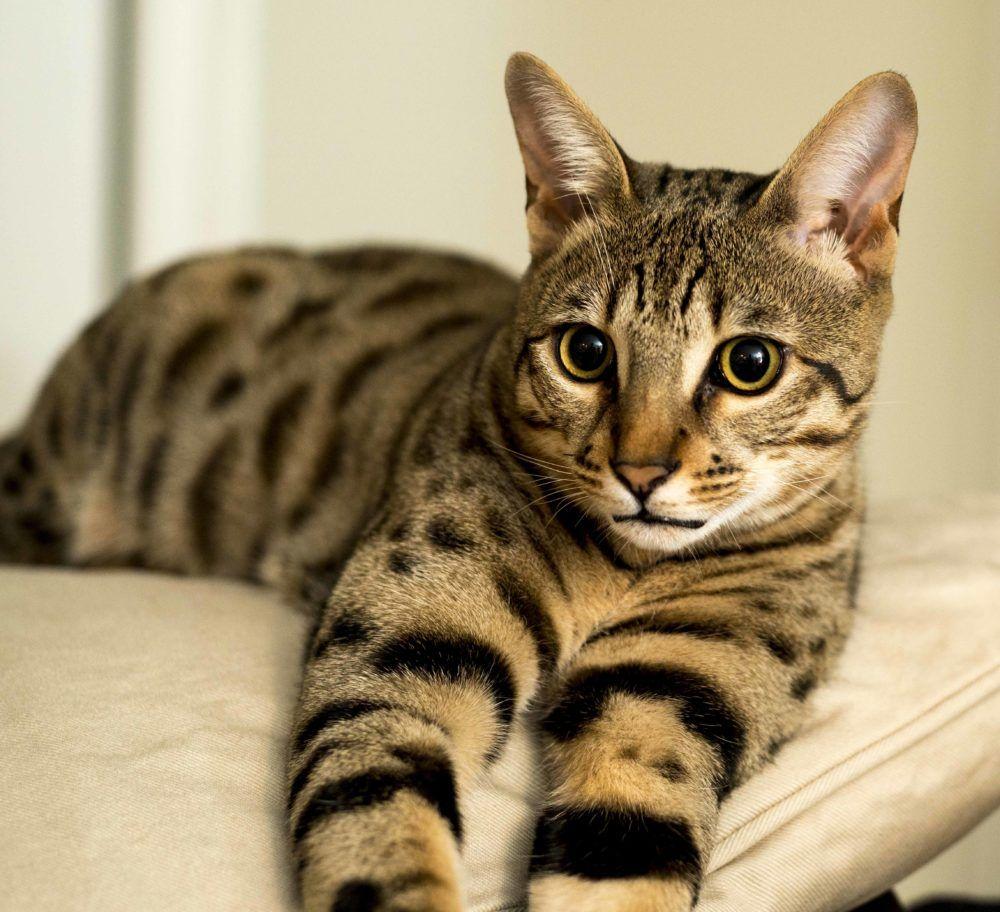Are Savannah Cats Hypoallergenic Select Exotics Savannah Cats Cat Breeder Savannah Cat Breeders F3 Savannah Cat