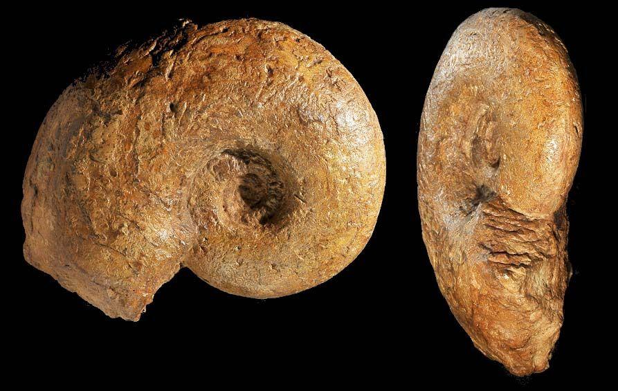 Pachylytoceras dilucidum 21 cm.jpg (893×565)
