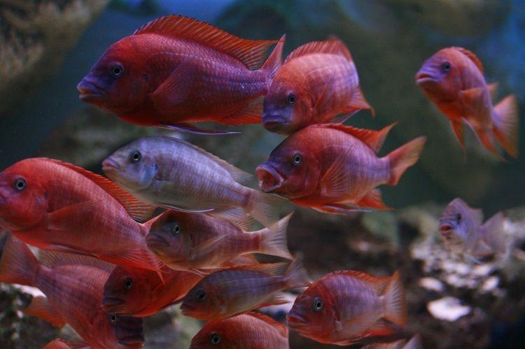 Картинки по запросу Petrochromis spec. 'red cap'
