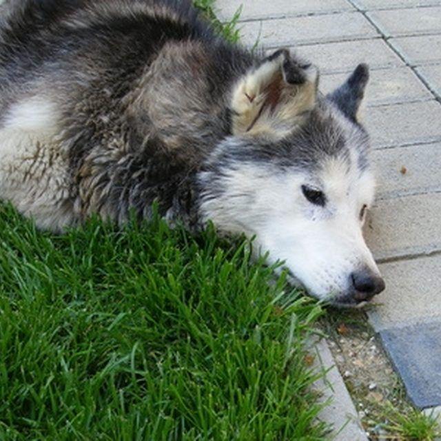 How To Stop Diarrhea In Siberian Huskies Pets Husky Animals