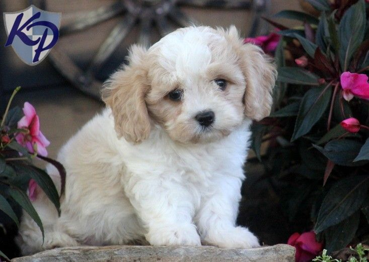 Puppy Finder Find Buy A Dog Today By Using Our Petfinder Cavachon Puppies Cavachon Puppies