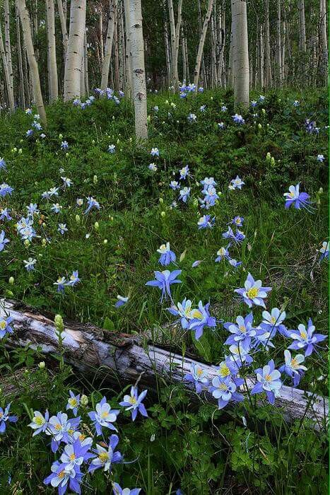Wild Columbines Forest Flowers Beautiful Nature Secret Garden