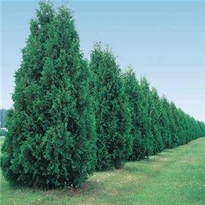 die besten 25 green giant tree ideen auf pinterest. Black Bedroom Furniture Sets. Home Design Ideas