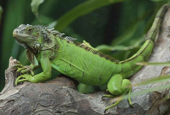 Green Iguana Picture Google Search イグアナ 両生類 アニマル