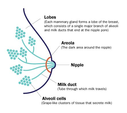 diagram of breast including the lobes areola nipple milk duct rh pinterest com diagram of areolar diagram of areolar tissue