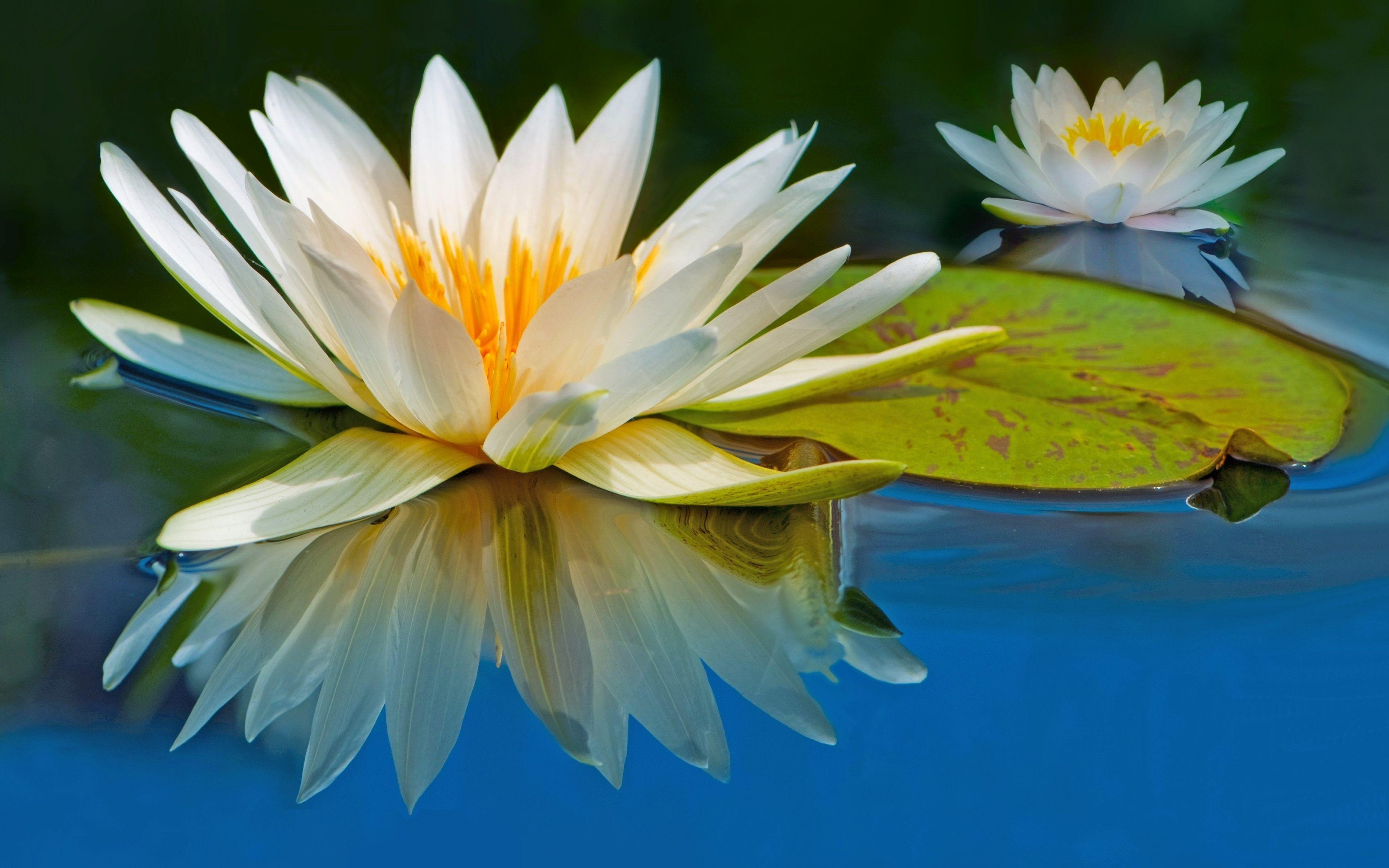 White Lotus Flower 4k Ultra Hd Wallpaper White Lotus Flower
