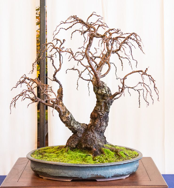 h nge birke betula pendula auf der bundesausstellung 2014 in mannheim bonsai b ume. Black Bedroom Furniture Sets. Home Design Ideas