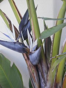 How To Split A Giant White Bird Of Paradise Plant Hunker Birds Of Paradise Plant Paradise Plant Birds Of Paradise Flower