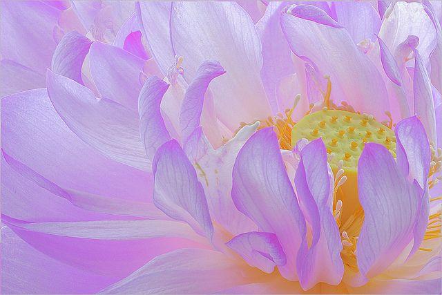 Toutes les tailles | lotus flower macro - DD0A0163-1000, via Flickr.