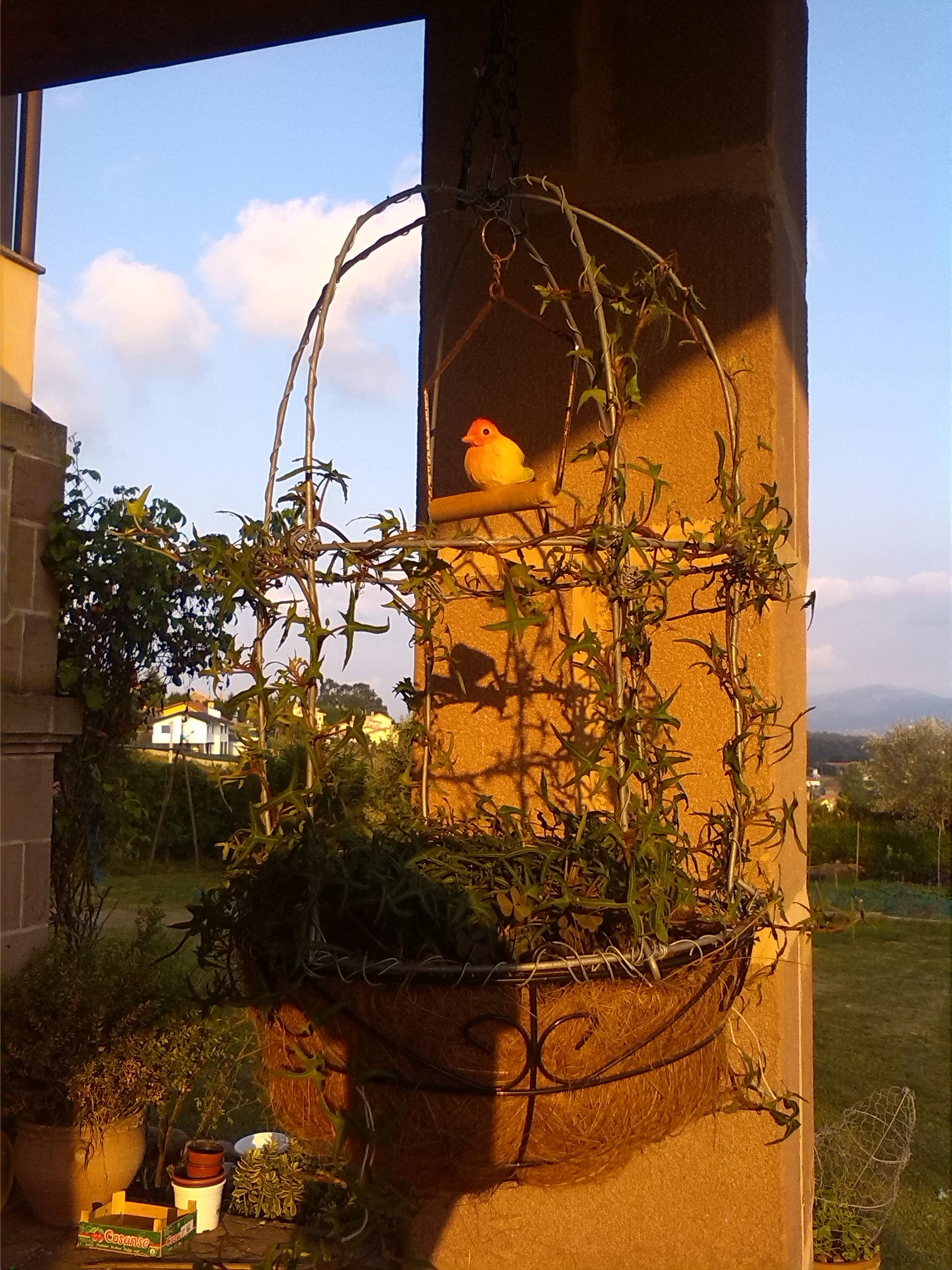 I made an ivy topiary bird cage. Can´t wait for the ivy to grow completely over the wires and base.