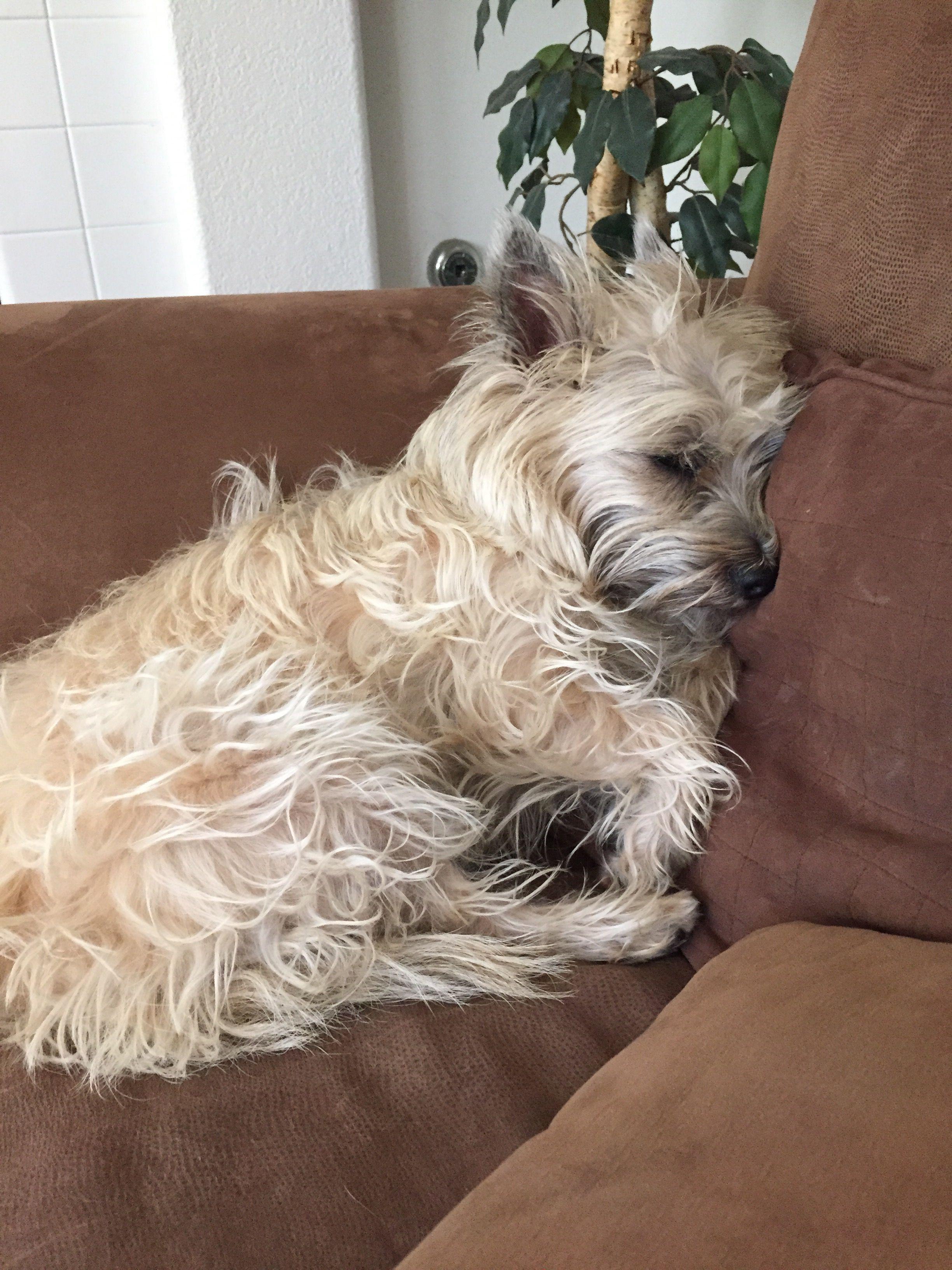 Pin By Kelli Ruiz On Cute Things Cairn Terrier Dogs Cute Dogs