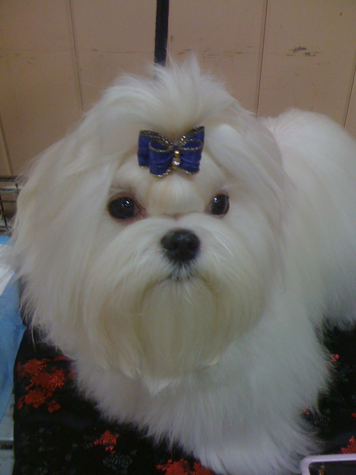 Maltese puppies must be at least 6 month old to be shown at AKC event and are often shown in a single topnotch. Its easier because they are often moving target to groom at this age. Cute gets them a long way.