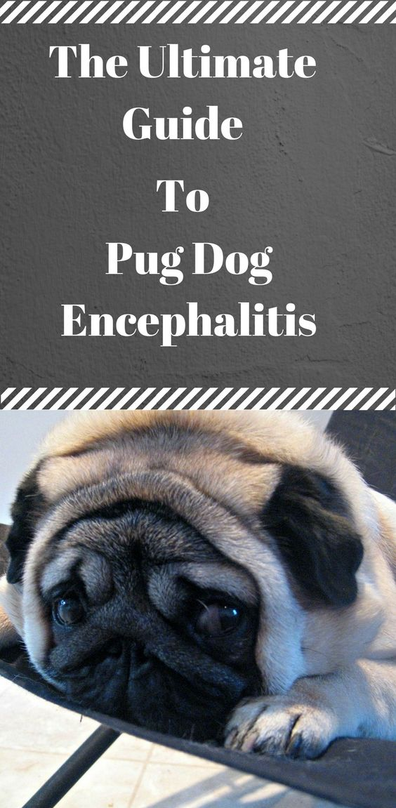 The Ultimate Guide To Pug Dog Encephalitis Pugs Dog Illnesses