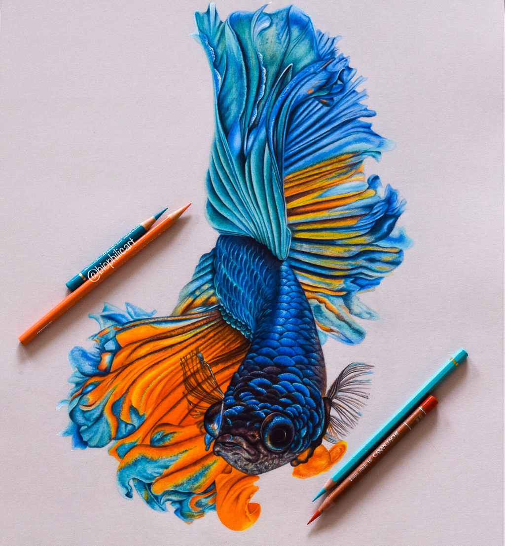 Pencil Drawing Tutorials Picture Of A Blue And Orange Betta Fish Drawn Using Colored Pencils Beautiful Co In 2020 Color Pencil Art Color Pencil Drawing Fish Drawings