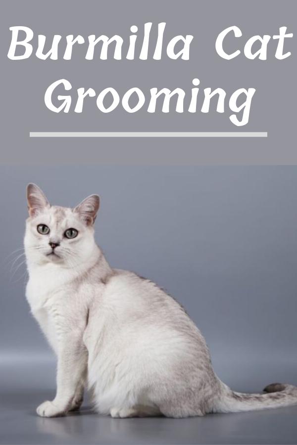 Burmilla Cat Grooming Burmilla Cat Burmilla Cat Grooming