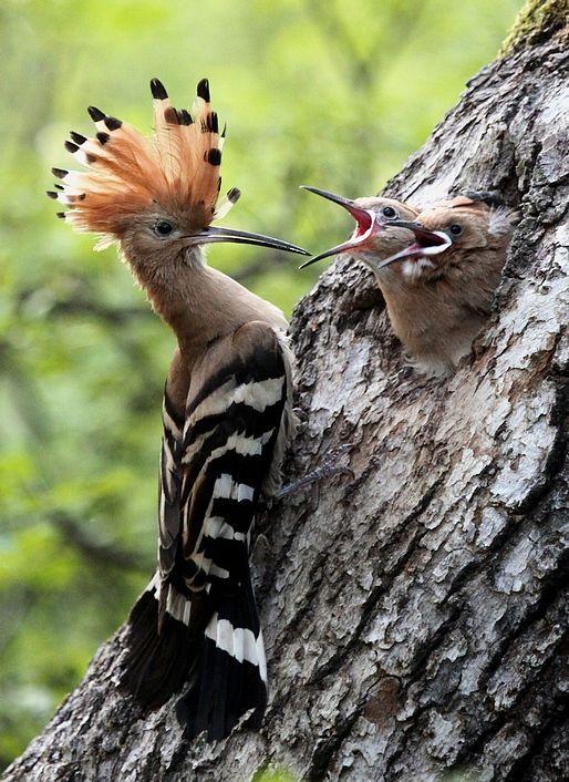Poupa Hoopoe (upupa Amazing World beautiful amazing #Природа
