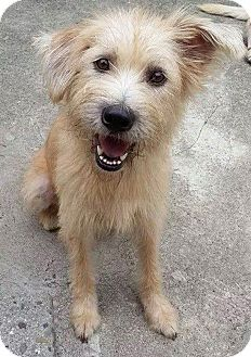 S F Ca Wheaten Terrier