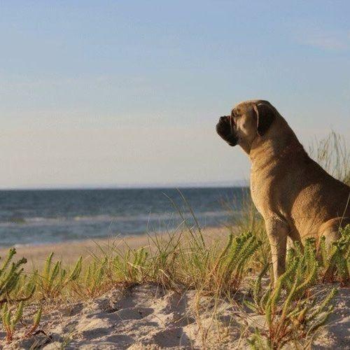 Kourtjester Kennels On Sixtydogs Bullmastiff Puppies For Sale
