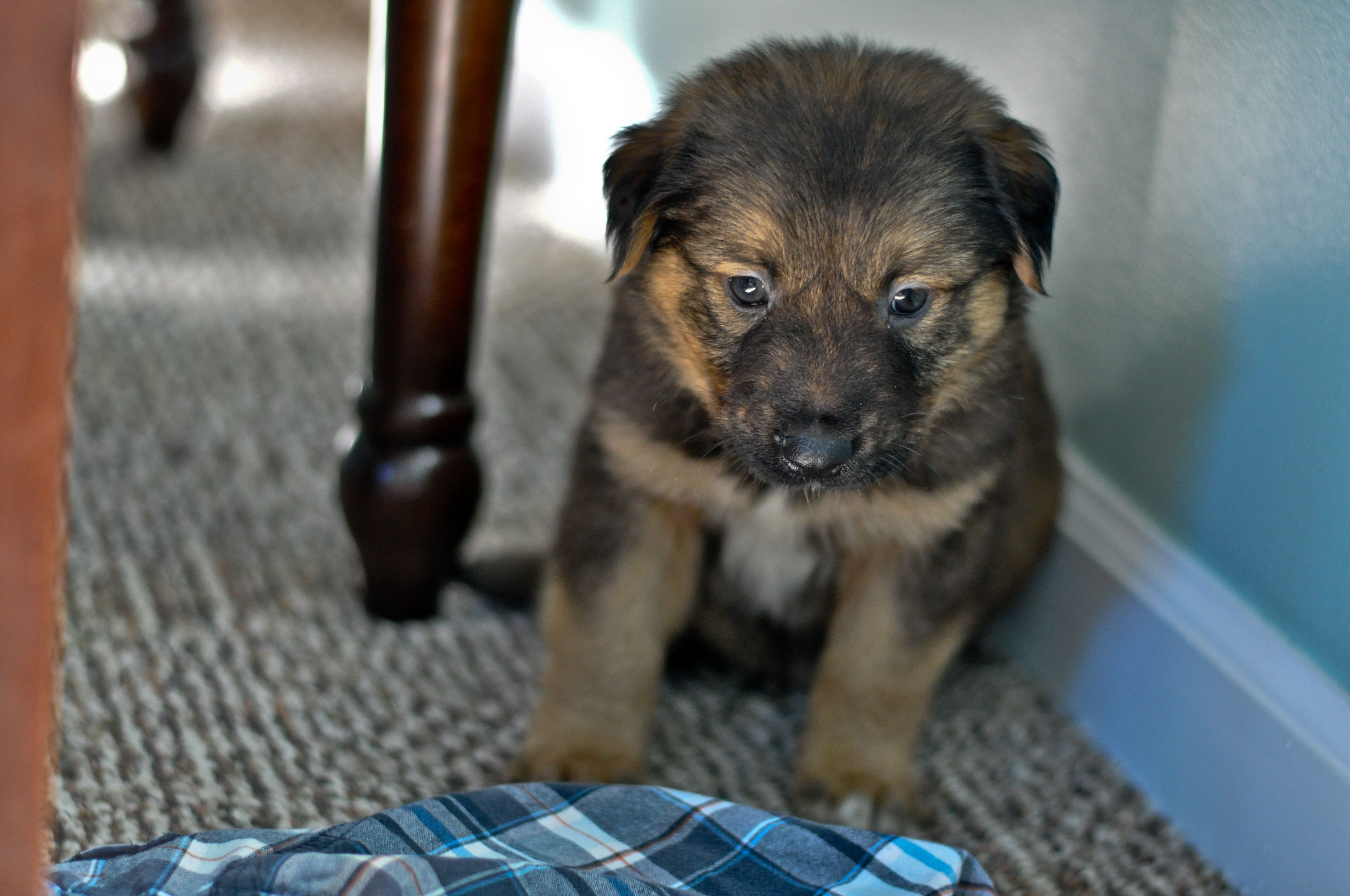 Chewy The Shollie Puppy German Shepherd Collie Mix 6 Weeks