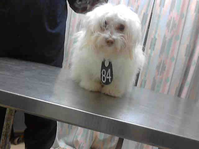 Adorable 8 Month Old Maltese Houston Texas Petharbor Com Animal Shelter Adopt A Pet Dogs Cats Puppies Kitten With Images Animals Animal Shelter Humane Society