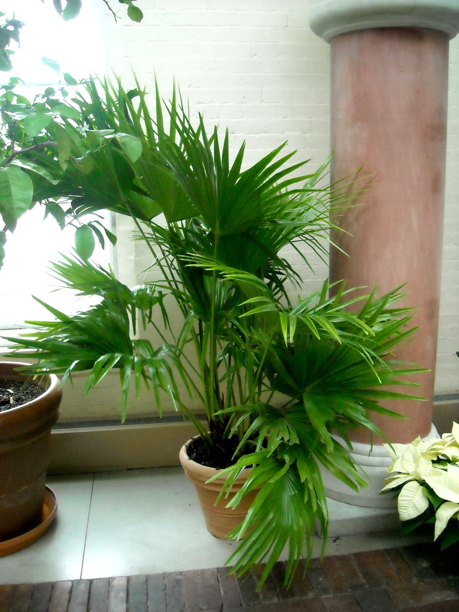 Chinese fan palm toxic plants for cats plants fountain