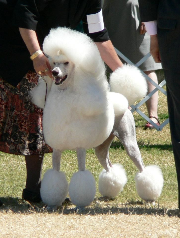 We Have A Long Line Of Akc Champion Poodles Akc Dog Shows