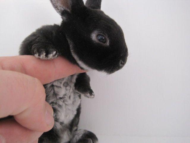 11 Mini Rex Rabbits For Sale Jacksonville Florida Rabbits For Sale Mini Rex Rabbit Cute Baby Animals
