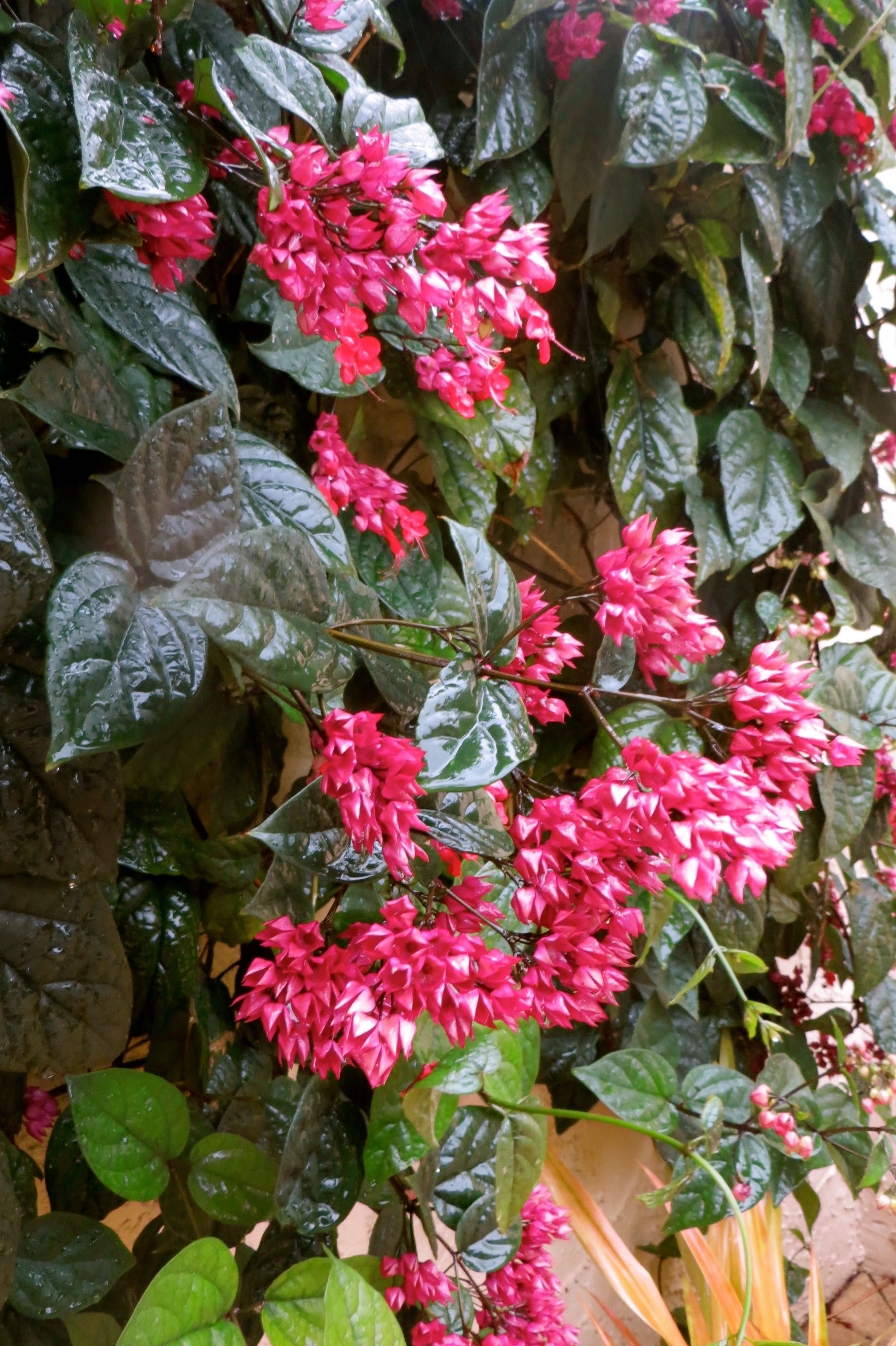 Rainy Day In The Florida Yard Bleeding Heart Vine Climbing Flowers Flowering Vines Bleeding Heart