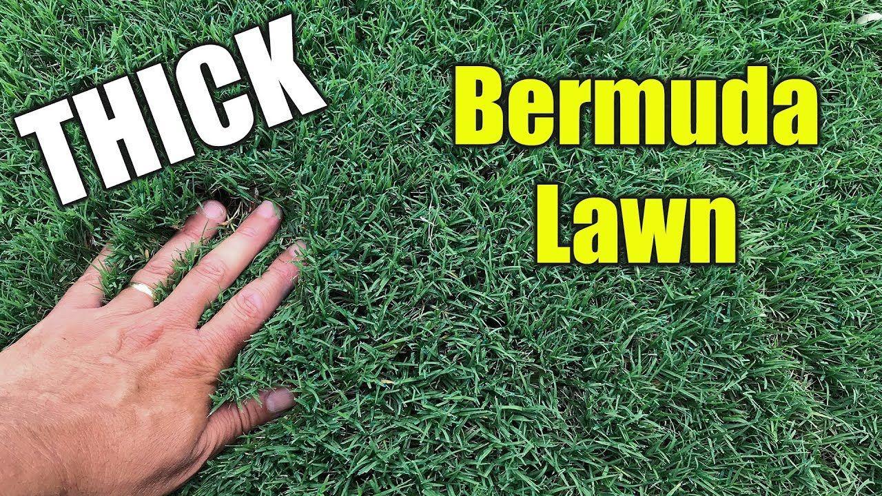 Thick Bermuda Grass Lawn Youtube Bermuda Grass Bermuda Grass Seed Bermuda Grass Care