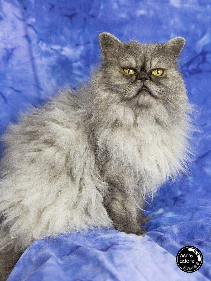 Adopt ABIGALE on Petfinder Cat rescue, Pet care, Pets