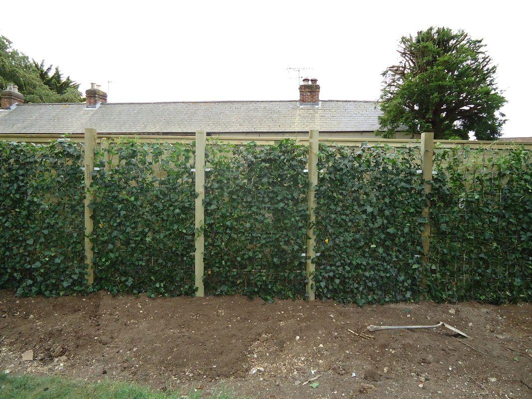 English Ivy Fencing Landscape Laurel