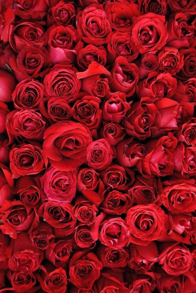 Красные розы в 2019 г.