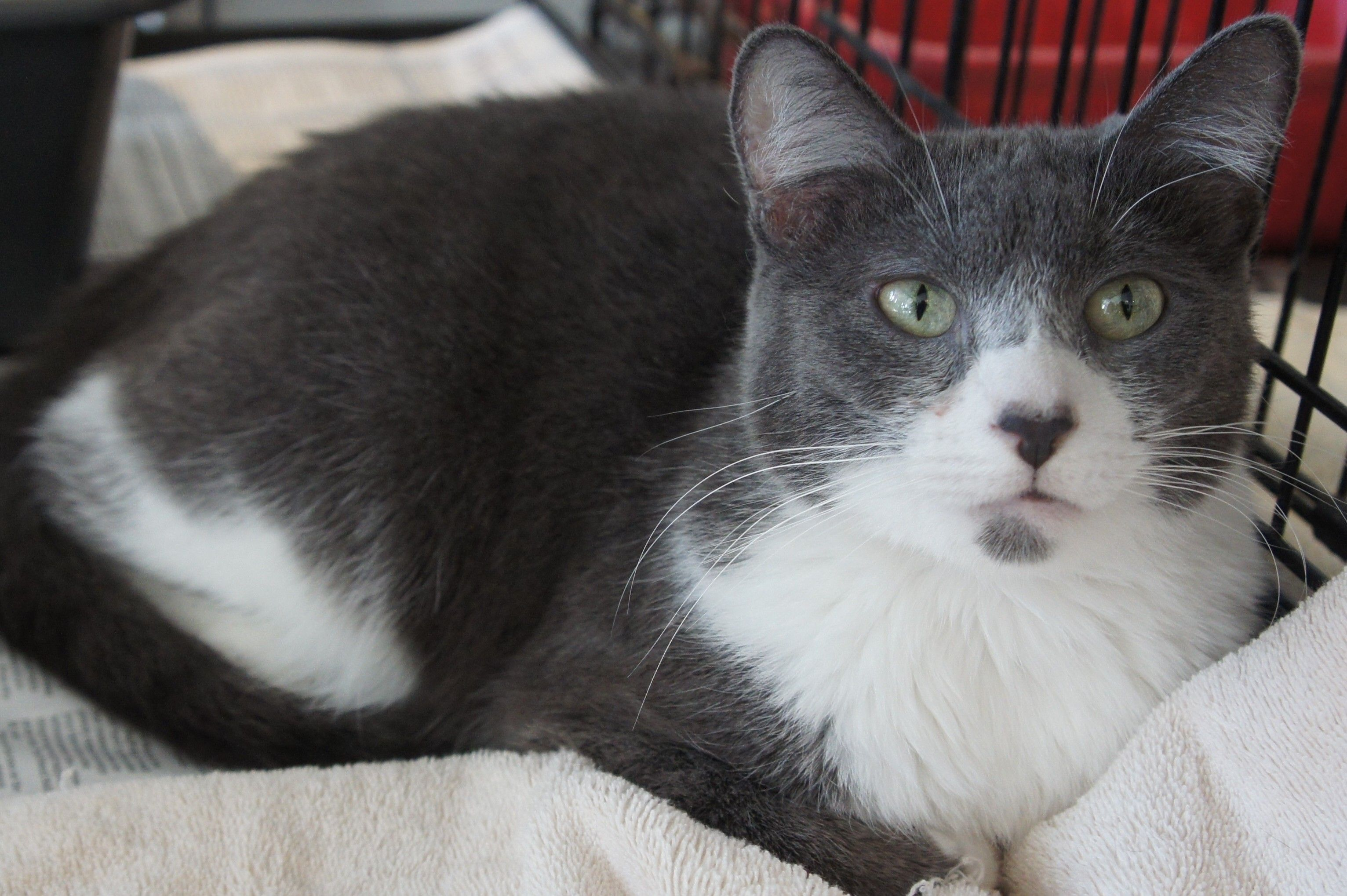 Luna, grey and white tuxedo cat available now, http//www