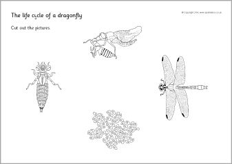 Dragonfly life cycle cut and stick activity SB10862  SparkleBox