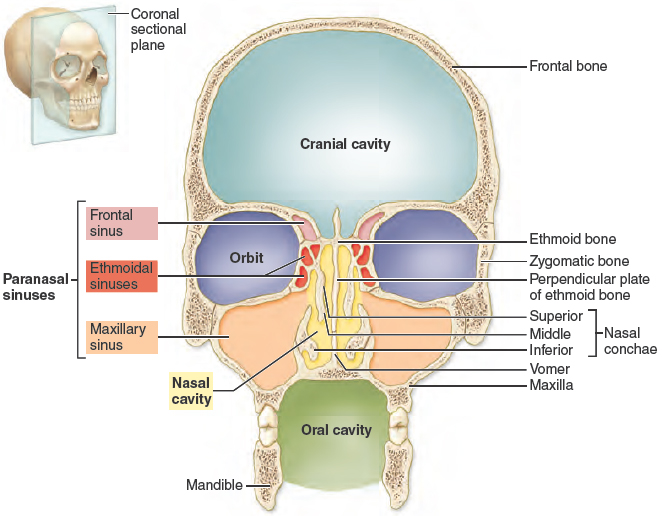 A Coronal Section Diagram Highlights The Cranial Cavity