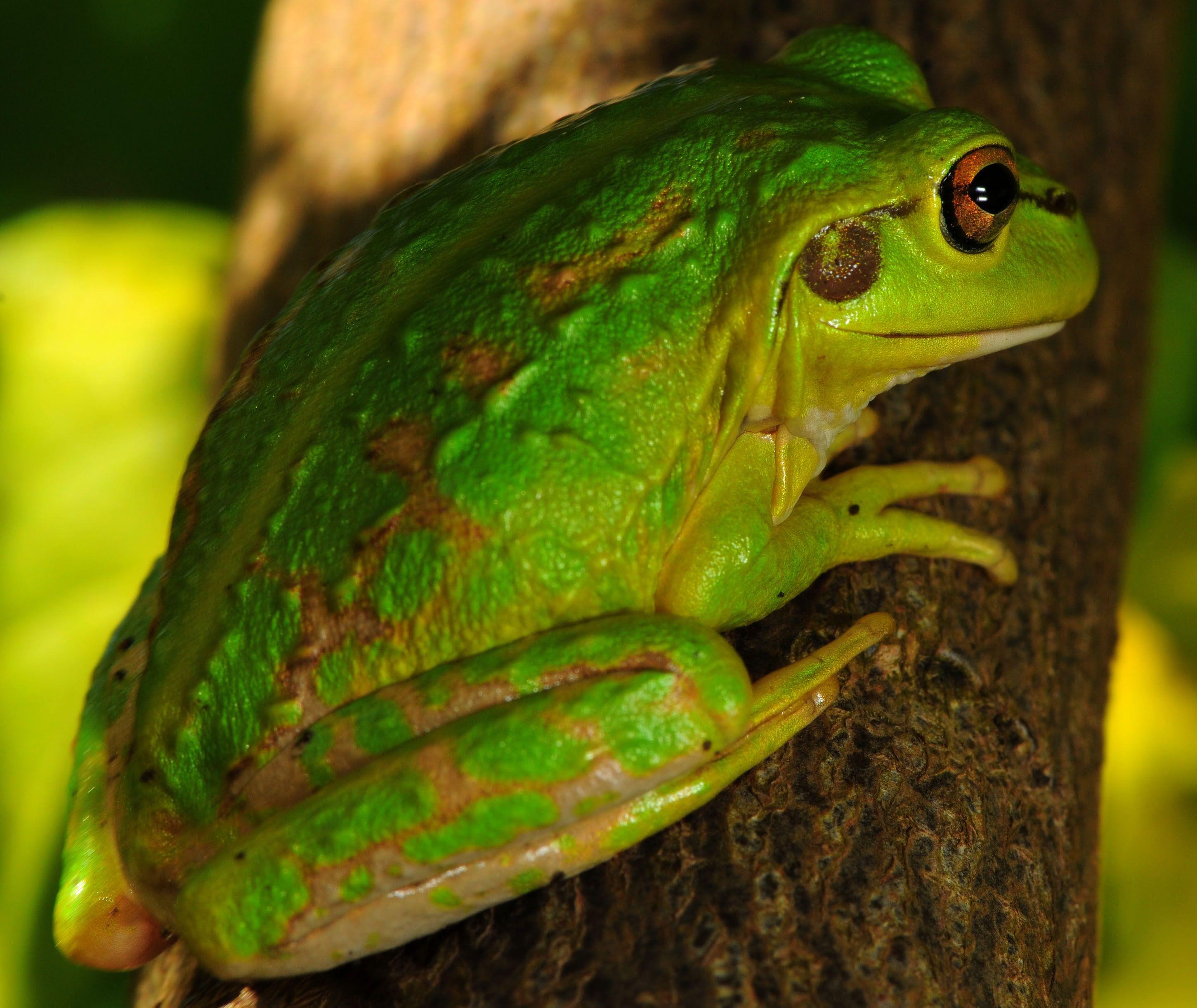 Washington Tree Frogs | Thread: Tree frog climbing a tree??