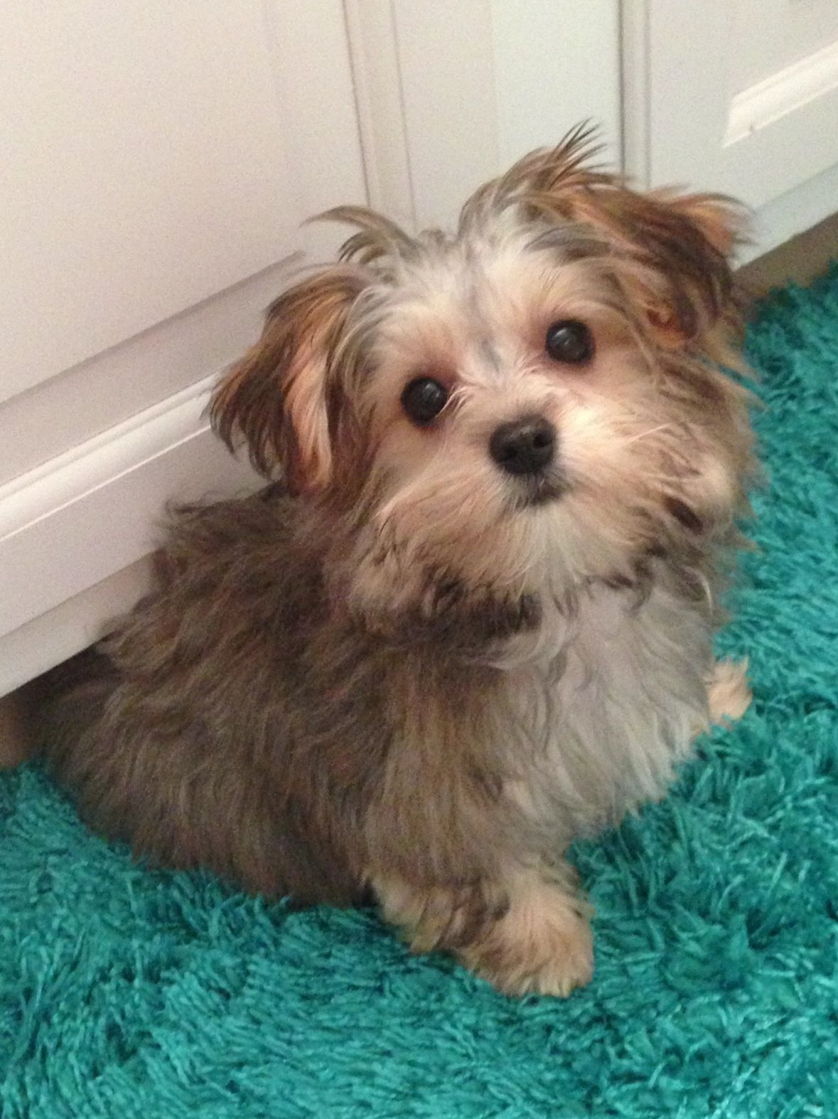 Image Result For Maltipoo Yorkie Mix Puppies Yorkshire Terrier