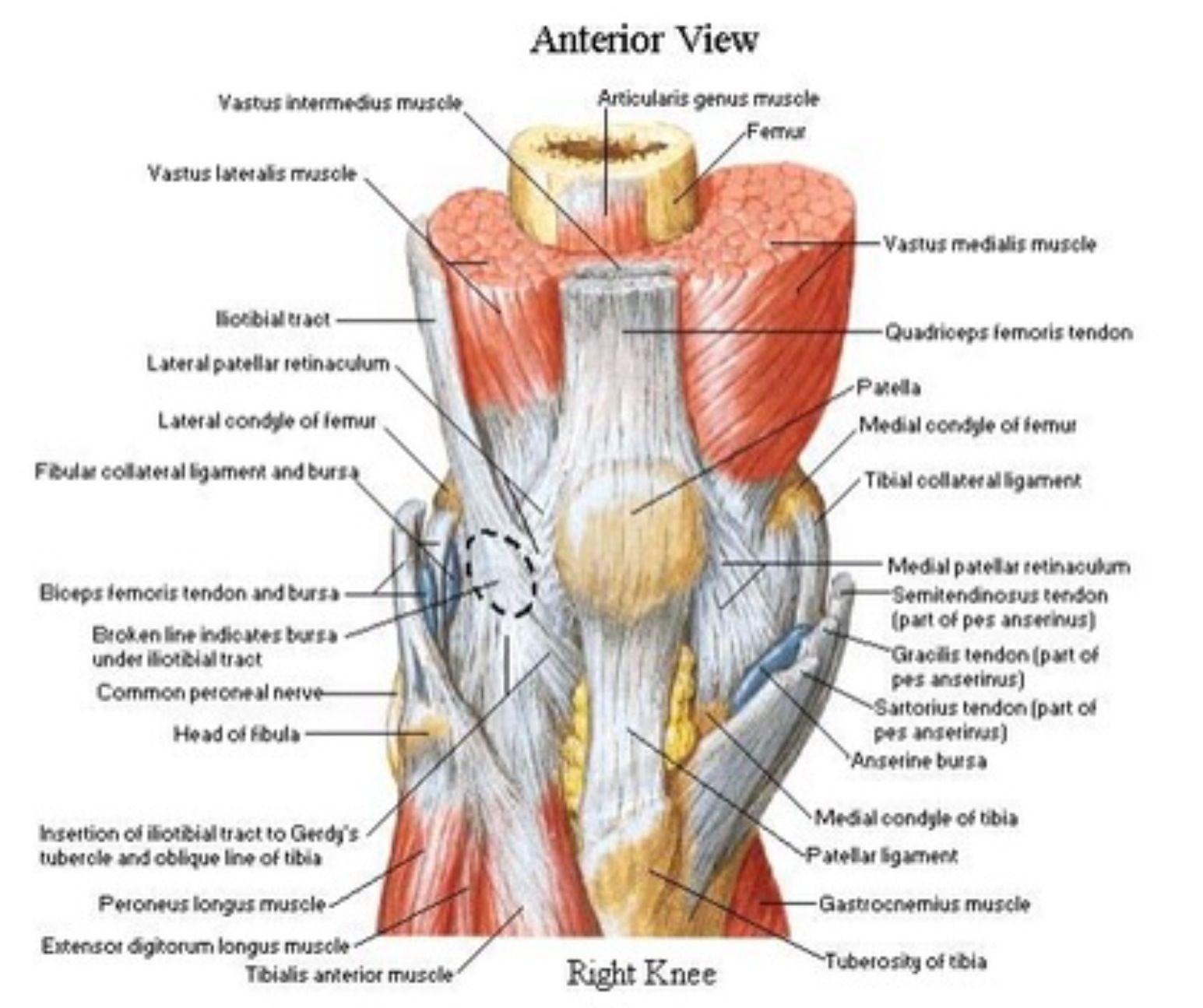 Anterior aspect of the Knee - Netter | Quadriceps femoris ...