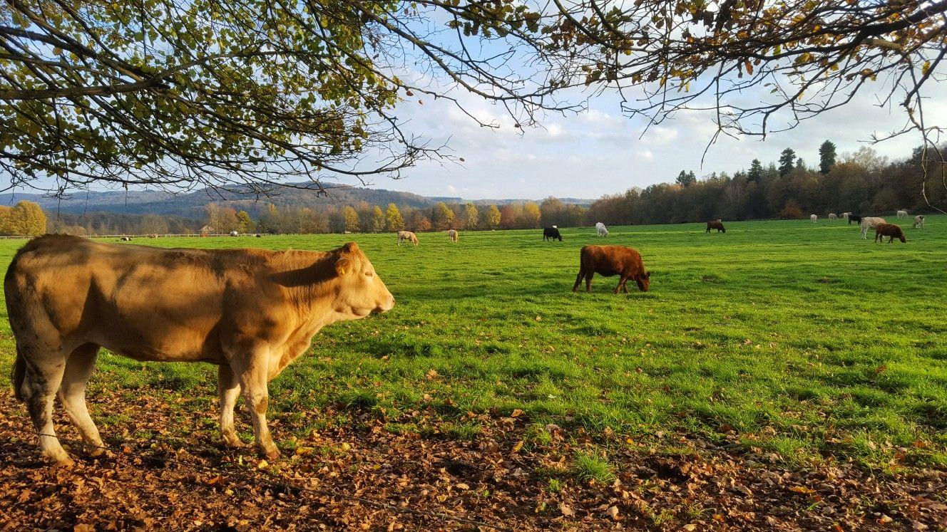 Herbst Im Saarland Tiere Auf Der Weide An Einem Sonnigen Tag