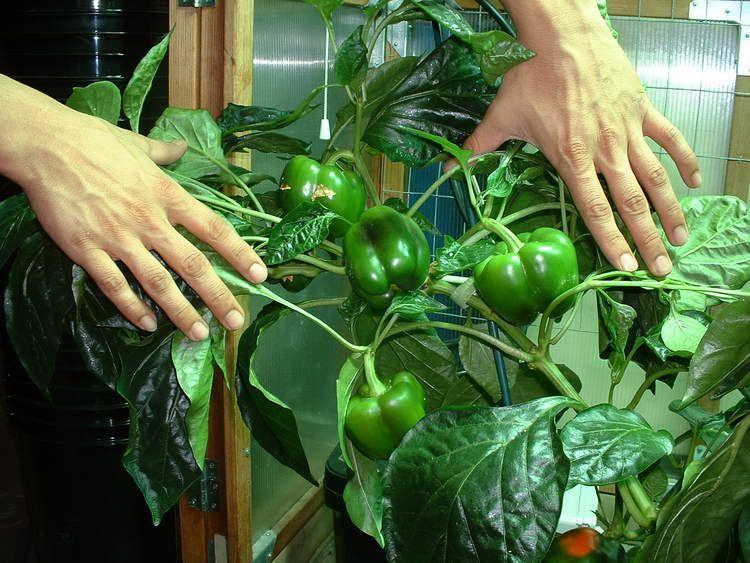 Indoor Vegetable Plants Indoor Vegetable Gardening Plant 400 x 300