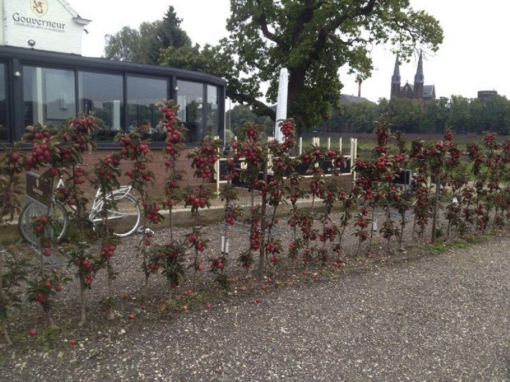 Haag Minitree Redlane geplant bij een restaurant. De appeltjes worden door de kok gebruikt in de gerechten. http://www.minitree.nl/info/15-minitree-fruithaag