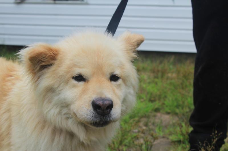 Adopt Noah 3255 On Dogs Chow Chow Dogs Labrador Retriever Mix