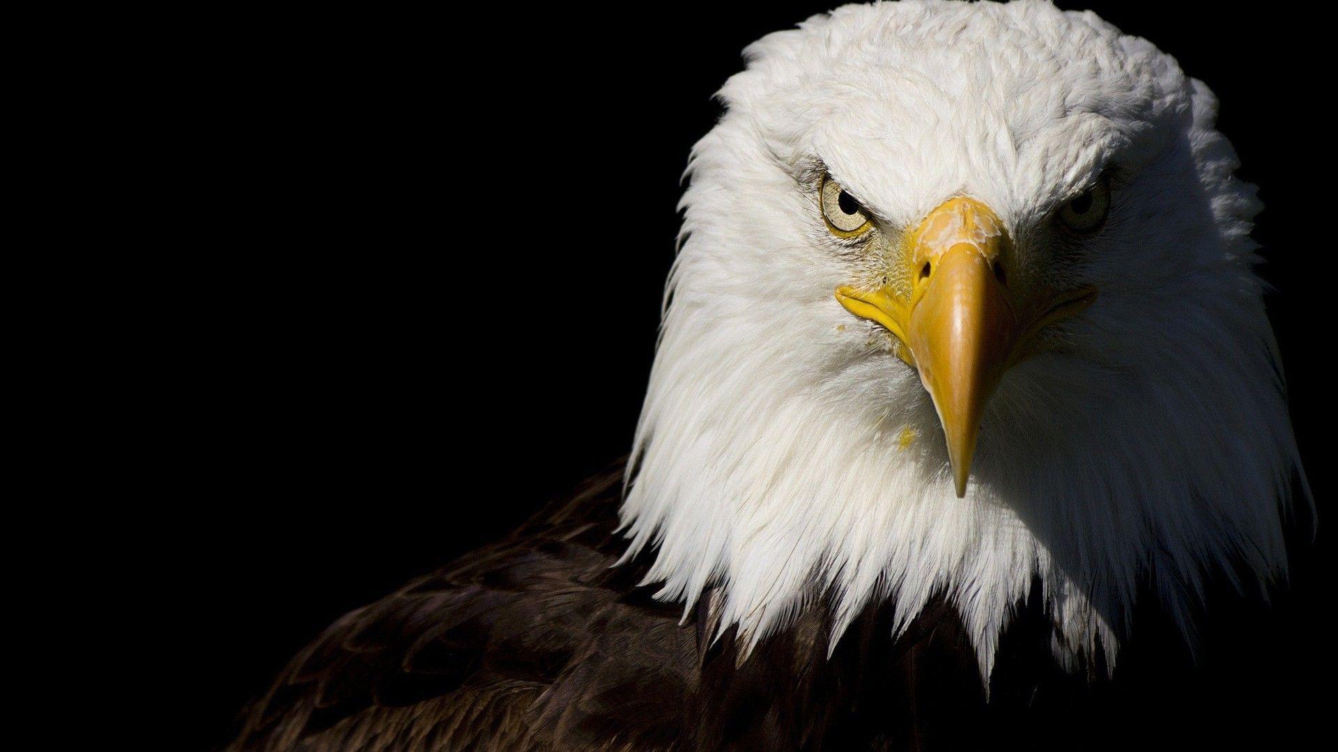 Bald Eagle wallpaper Eagle wallpaper, Eagle images, Bald